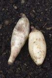 Fresh Yacon roots (smallanthus sonchifolius) Royalty Free Stock Photos