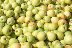 Fresh Yellow Apples at an Orchard Stock Photography