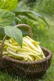 Fresh yellow beans Royalty Free Stock Photos