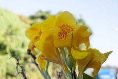 Fresh yellow canna lilly flower on nature background. stock photos