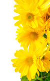 Fresh yellow chrysanthemum is isolated on white background Royalty Free Stock Images