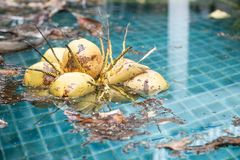 Fresh yellow coconut fruit falling into swimming pool, dirty pool water, pool cleaning servive. Fresh yellow coconut fruit falling into swimming pool, dirty pool Stock Photo