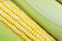 Fresh yellow corn cobs close up Royalty Free Stock Image