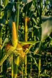 Fresh yellow corn crops Stock Image