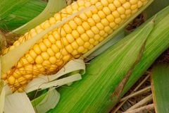 Fresh yellow corn with green leaves Stock Photo