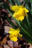 Fresh yellow daffodil closeup. Closeup of a fresh daffodil with dew drops Royalty Free Stock Photos