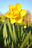 Fresh yellow daffodil Stock Images