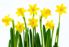 Fresh yellow daffodils Stock Photography