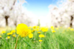 Fresh yellow dandelion in the orchard Stock Photos