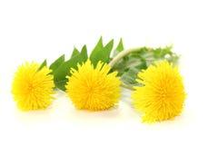 Fresh yellow Dandelions Royalty Free Stock Image