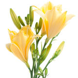 Fresh yellow day lilies with waterdrops. Fresh yellow daylilies isolated on white background Royalty Free Stock Photo