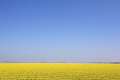 A fresh yellow field of flowers Royalty Free Stock Photography