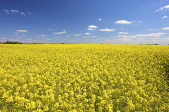 A fresh yellow field of rapeseed in summer Royalty Free Stock Photos