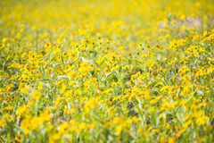 Fresh yellow flower blooming in garden. Gold buttons flower royalty free stock image