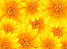 Fresh yellow flowers background Royalty Free Stock Images