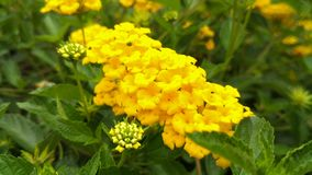 Fresh and beautiful yellow flowers with natural light background. royalty free stock images