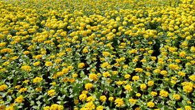 Fresh Yellow Flowers Field Background. Yellow Flowers Field Background in Bright Daylight Royalty Free Stock Photos