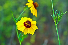 Fresh yellow flowers in a park. Yellow flowers in a park on spring Stock Photography