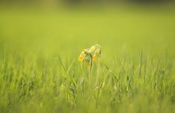 Fresh yellow flowers primrose rose on spring green meadow Royalty Free Stock Photography