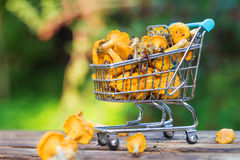 Fresh yellow forest chanterelle mushrooms basket Royalty Free Stock Photo