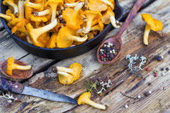 Fresh yellow forest chanterelle mushrooms Royalty Free Stock Image