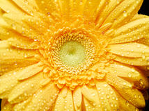 Fresh yellow gerbera Stock Photo