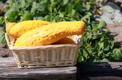 Fresh yellow gourds Stock Photo