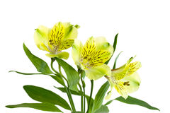 Yellow Alstromeria Stock Image