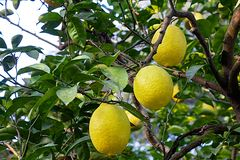 Fresh yellow green hill lemons with branches and leave royalty free stock photos