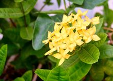 Fresh Yellow Ixora Flowers in A Garden. Beautiful Flower, Group of Fresh Yellow Ixora Flowers with Green Leaves on Tree in A Garden royalty free stock images