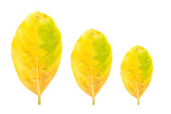 Fresh yellow leaf isolated on white background Stock Photo