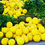 Fresh yellow lemons Stock Photography