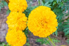 Fresh Yellow Marigold flowers with water drop in the garden.  Royalty Free Stock Photo