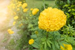 Fresh Yellow Marigold flowers with water drop in the garden.  Stock Photo