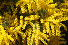 Mimose Royalty Free Stock Images