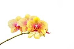 Fresh yellow orchid flower Stock Photo
