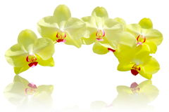 Fresh  yellow Orchid flower on isolated background. Royalty Free Stock Photos