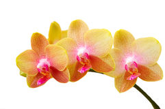 Fresh yellow orchid on white Royalty Free Stock Photography