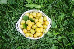 Fresh yellow plums. Ripe fruits. In a plate on green summer grass stock photos