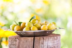 Fresh yellow plums. Ripe fruits in a plate on tree stump. In a summer garden stock image
