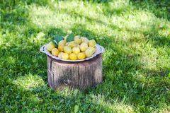 Fresh yellow plums. Ripe fruits in a plate on tree stump. In a summer garden stock images