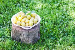Fresh yellow plums. Ripe fruits in a plate on tree stump. In a summer garden stock photography