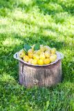 Fresh yellow plums. Ripe fruits in a plate on tree stump. In a summer garden royalty free stock images