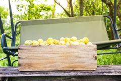 Fresh yellow plums. Ripe fruits in a wooden box on boards background stock images