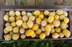 Fresh yellow plums. Ripe fruits in a wooden box on boards background royalty free stock images