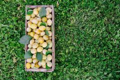 Fresh yellow plums. Ripe fruits in a wooden box on grass stock image