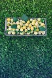 Fresh yellow plums. Ripe fruits in a wooden box on grass stock photography