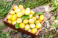 Fresh plums. Ripe fruits in a wooden box on green summer grass in a garden. Fresh yellow plums. Ripe fruits in a wooden box on green summer grass in a garden royalty free stock images