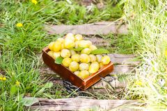 Fresh yellow plums. Ripe fruits in a wooden box on green summer grass. In a garden stock photo
