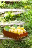 Fresh yellow plums. Ripe fruits in a wooden box on green summer grass. In a garden royalty free stock photo